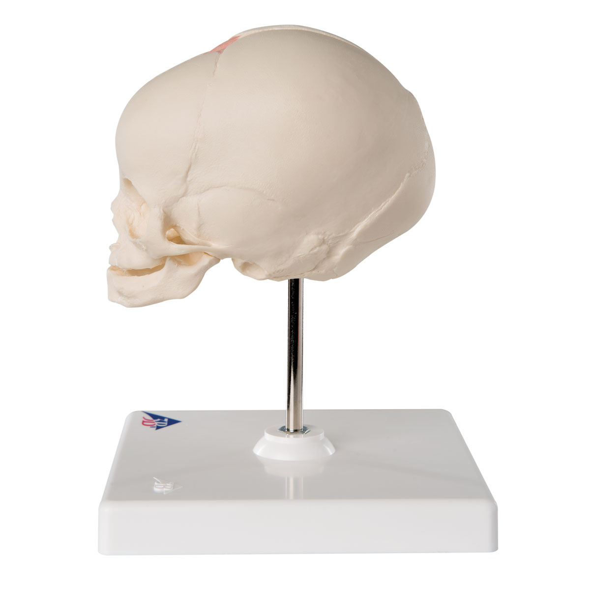 Foetal Skull on Stand A26 – Anatomical Parts & Charts