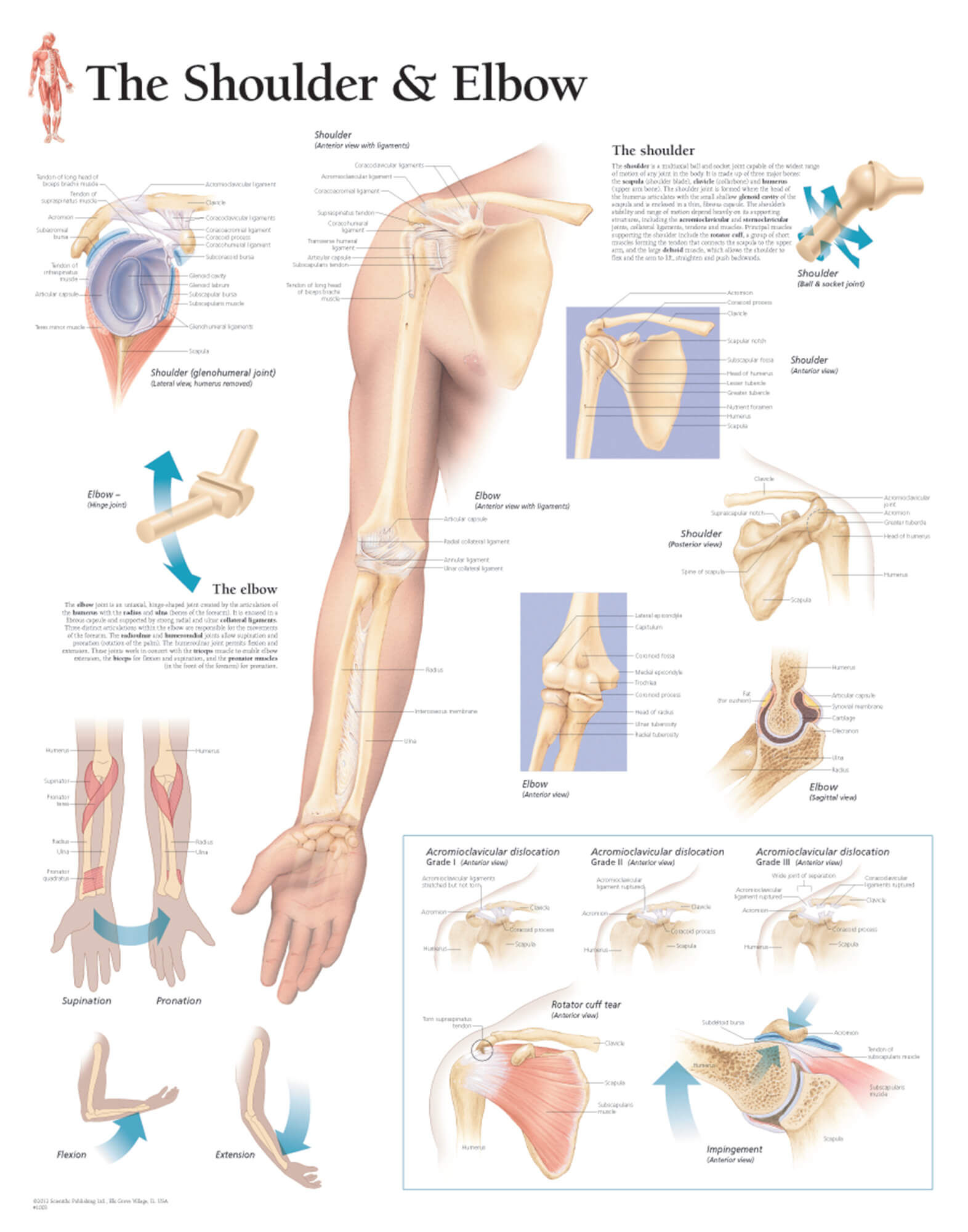 Understanding the Shoulder and Elbow 1003 – Anatomical Parts & Charts