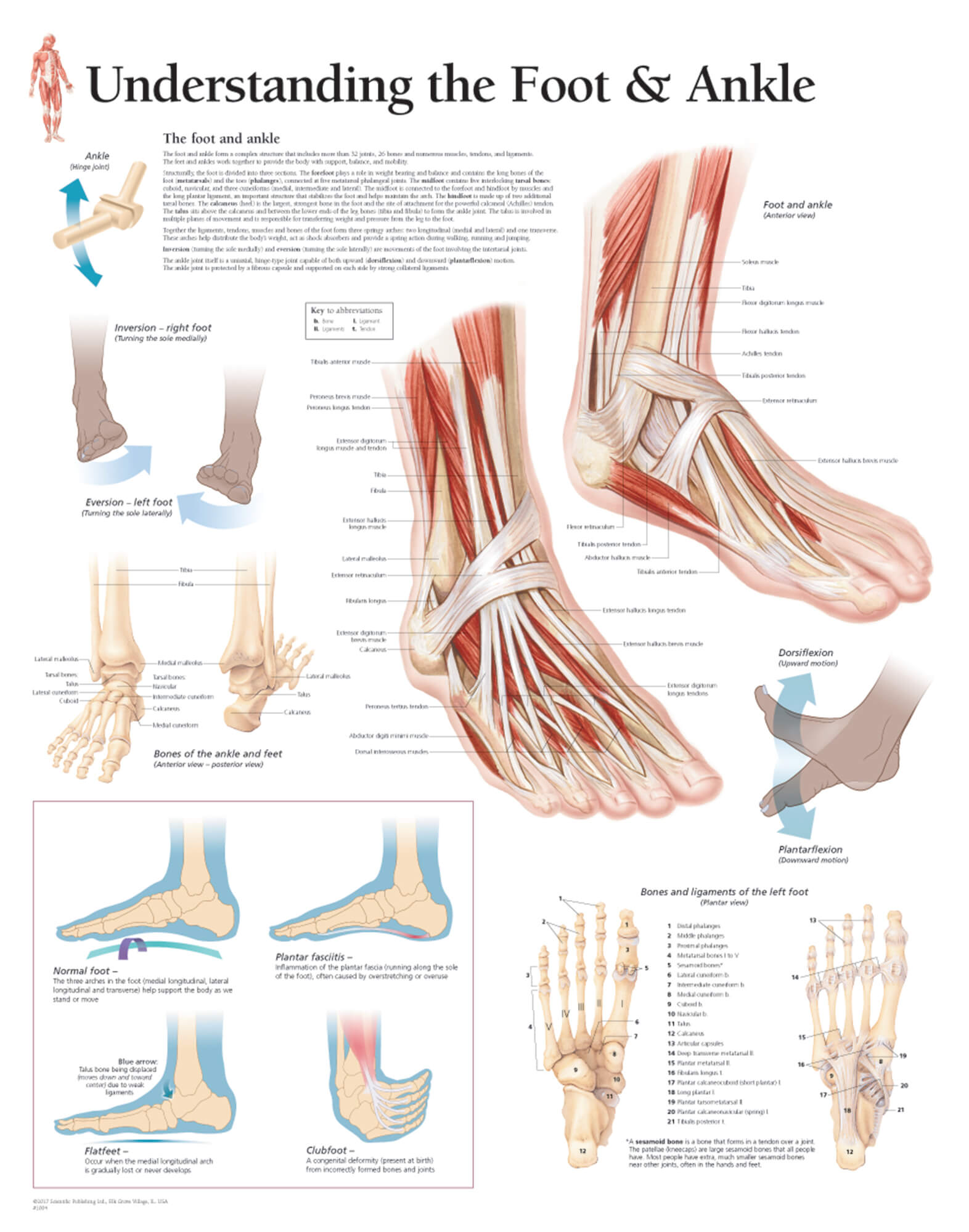 Understanding the Foot and Ankle 1004 – Anatomical Parts & Charts