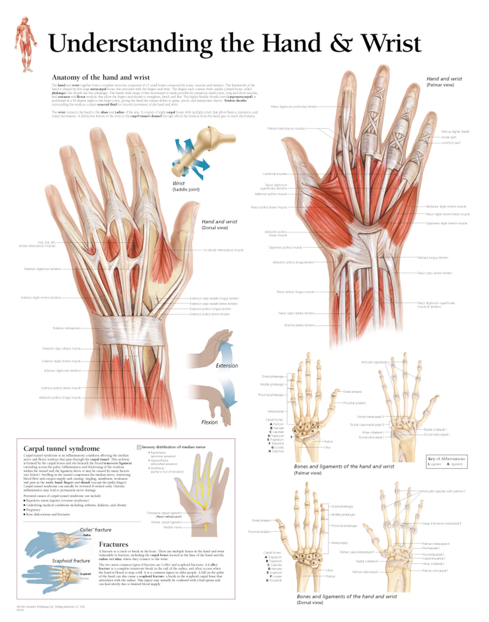 Understanding the Hand and Wrist 1005 – Anatomical Parts & Charts