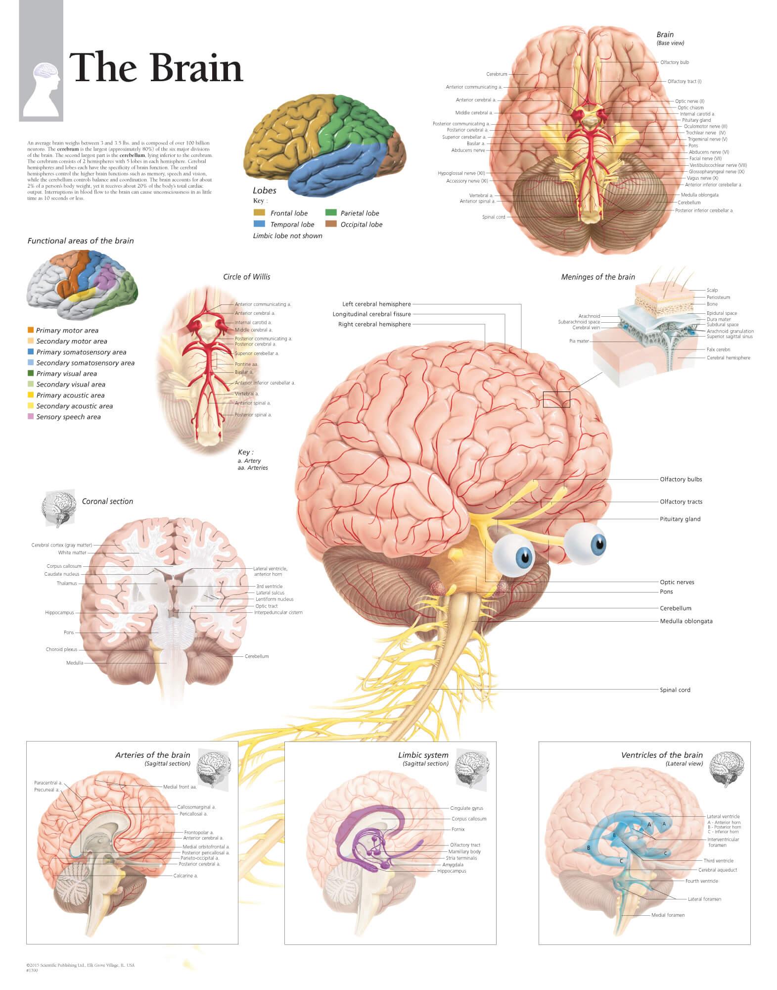 Brain 1700 Anatomical Parts Charts