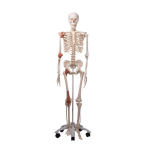Atlas and Axis, Assembled, No Stand A71 - Anatomical Parts