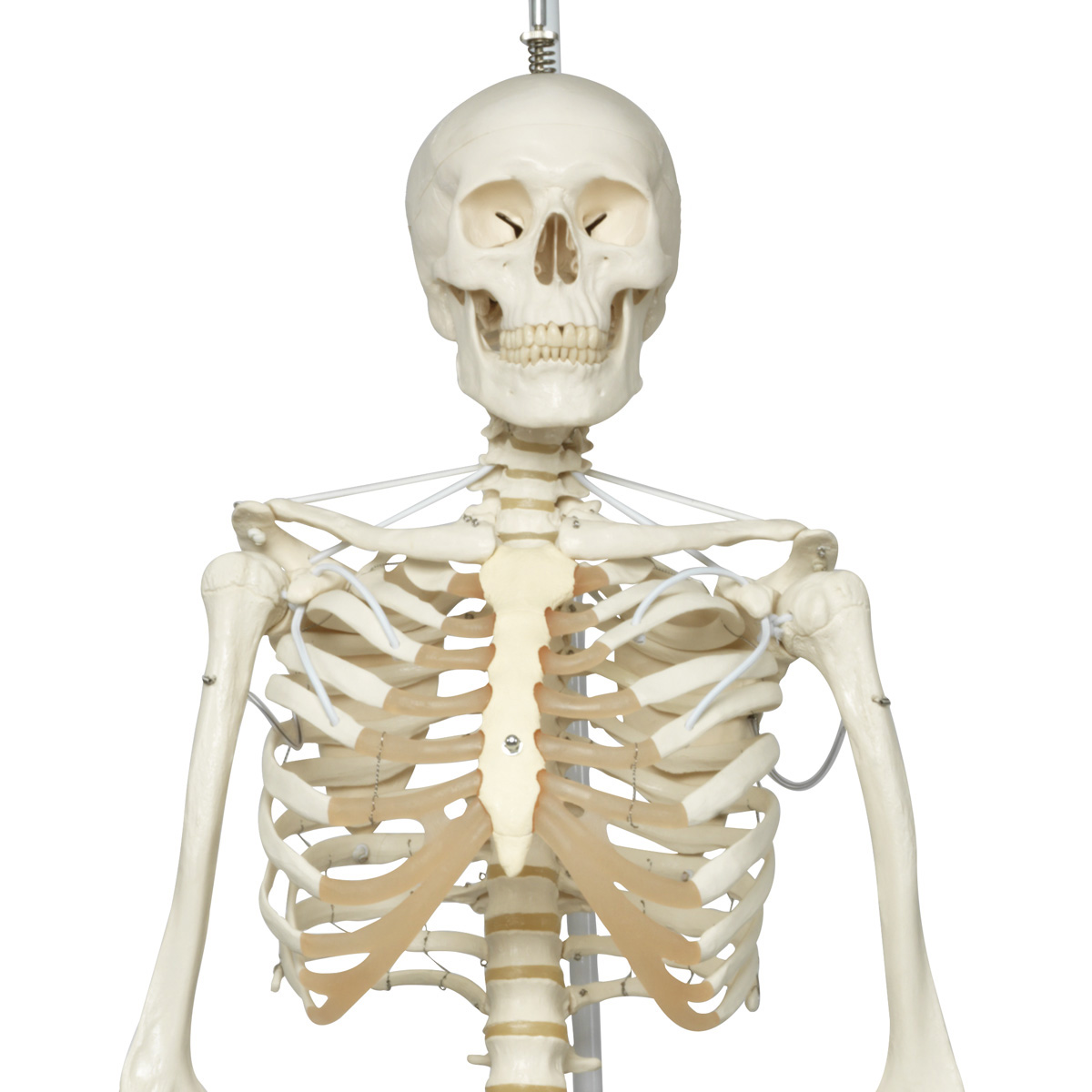 Functional Physiological Skeleton A153s Anatomical Parts Charts