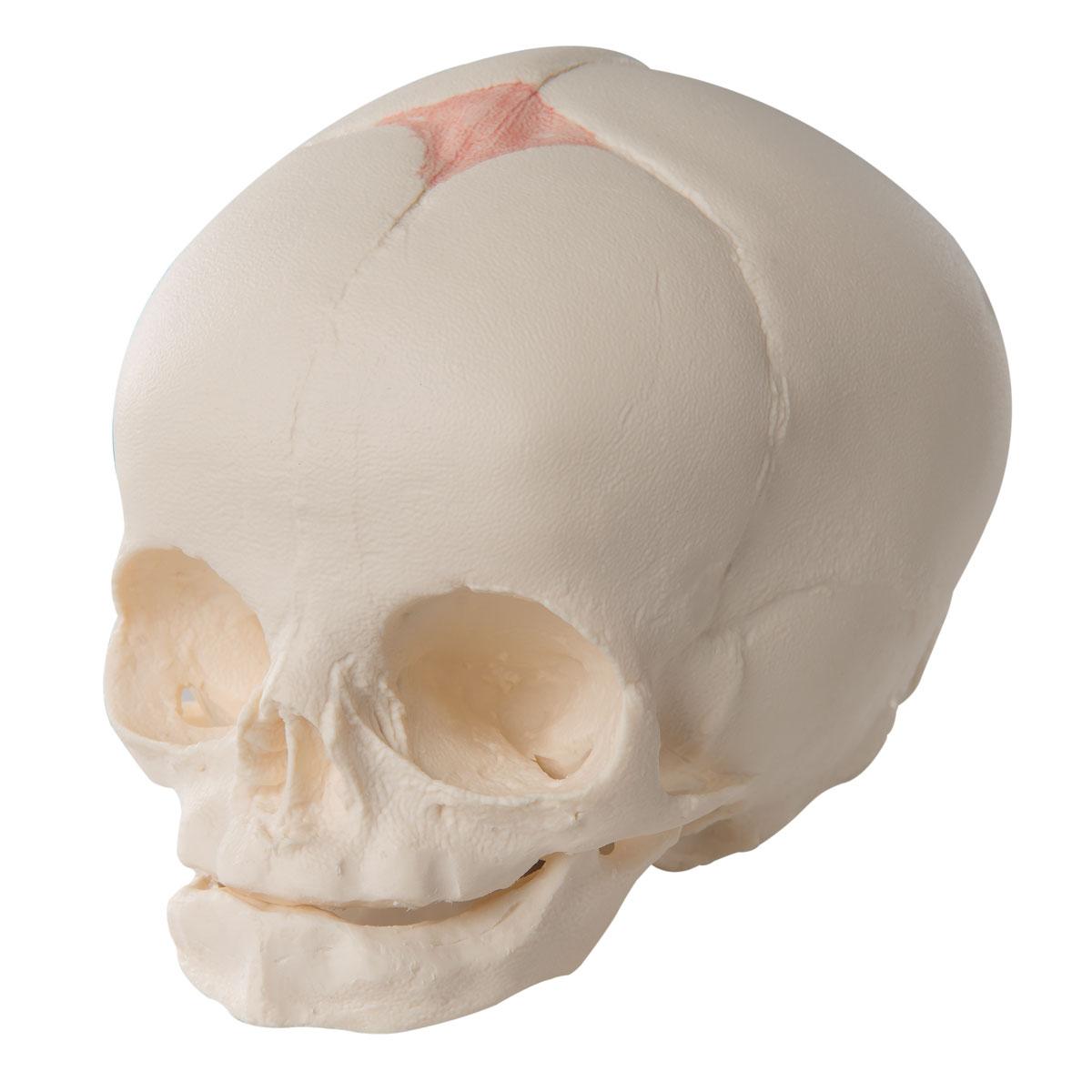 Foetal Skull A25 – Anatomical Parts & Charts