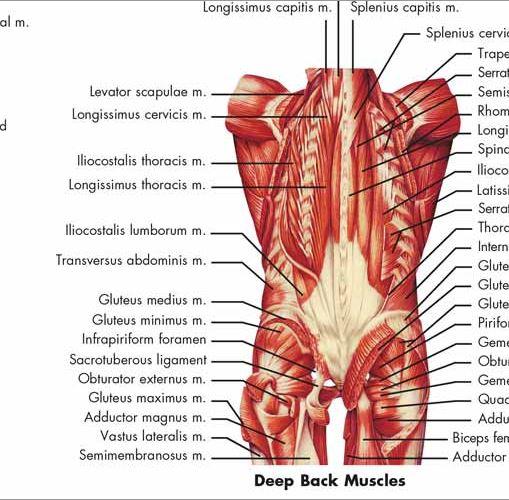 Human Muscle Chart VR1118 – Anatomical Parts & Charts
