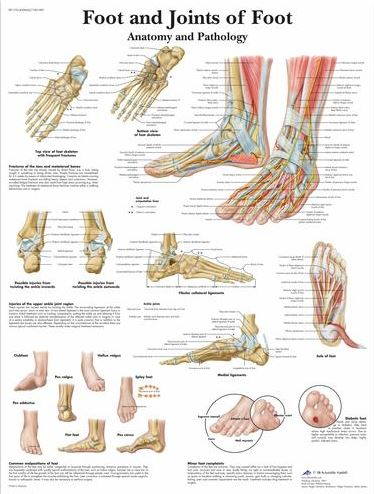 foot and joints of foot chart – anatomy and pathology vr1176