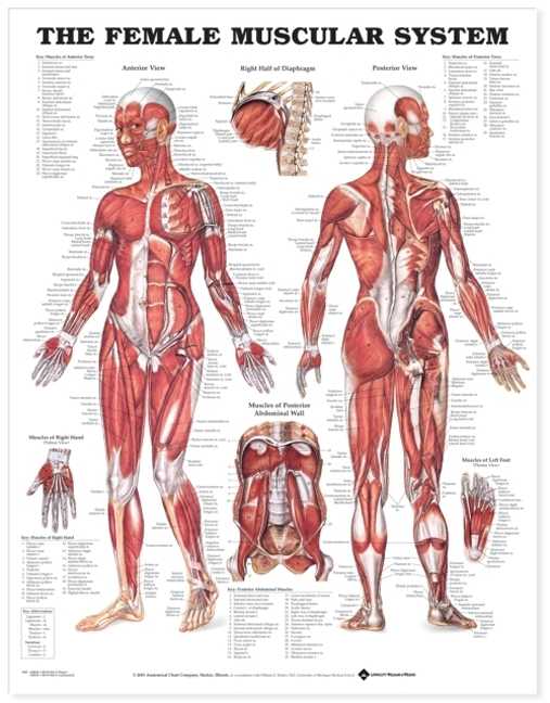 Female Muscular System Anatomical Chart 8947 – Anatomical Parts & Charts