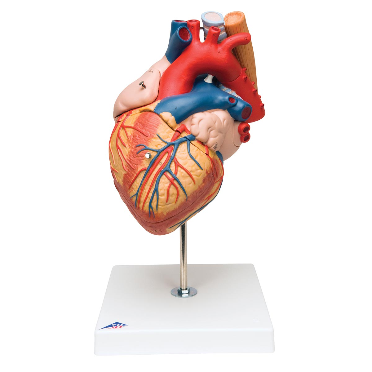 Heart with Esophagus and Trachea, 2 times life size, 5 part G13 ...